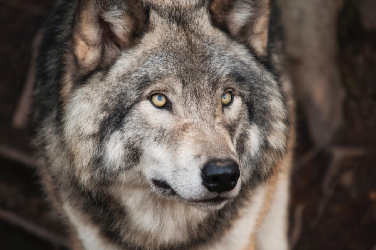 Lobo cinzento e o lobo terrível não estão diretamente relacionados